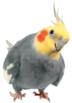 Cockatiel on Transparent Background