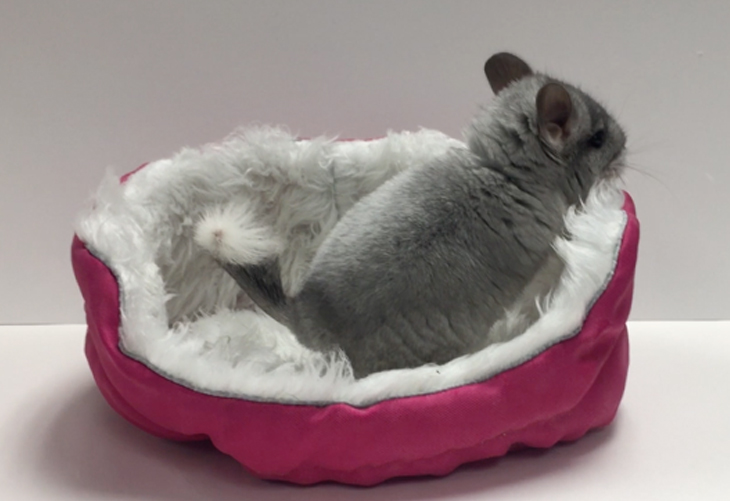 Chinchilla in Cuddle-e-Cup