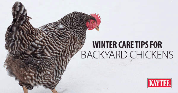 8 Winter Care Tips for Backyard Chickens