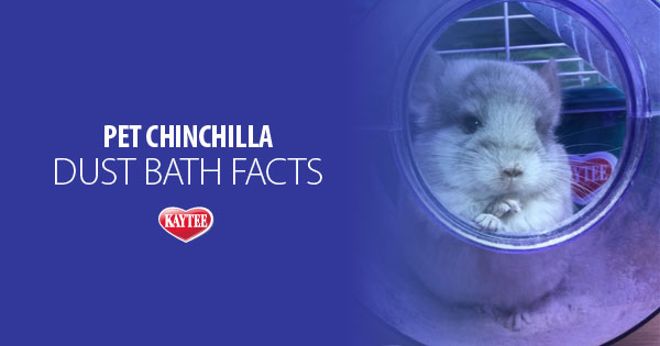 Chinchilla Dust Bath Facts