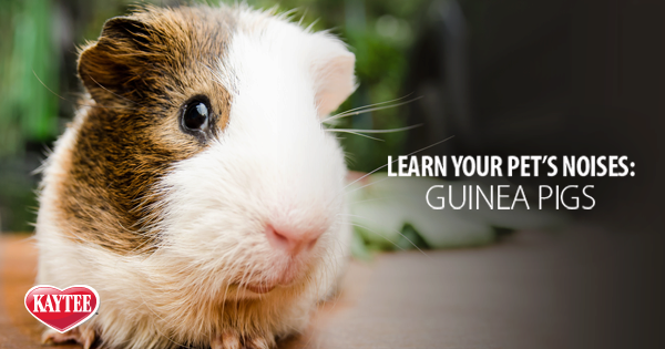 What sounds does a guinea pig make?