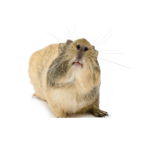 What is my Guinea Pig Saying? Decode Your Guinea Pig's Noises