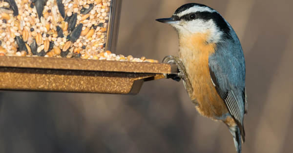 White-Breasted & Red-Breasted Nuthatches
