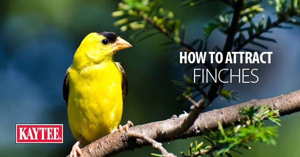 How to Attract Finches