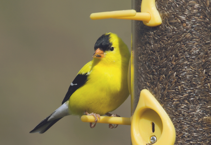 Attracting Wild Finches