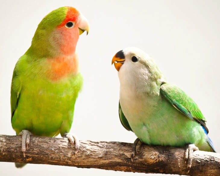 Two Lovebirds