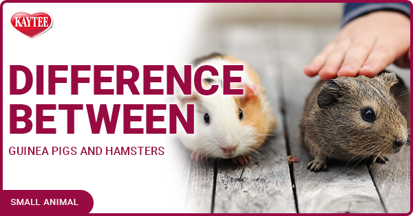 difference between guinea pigs and hamsters