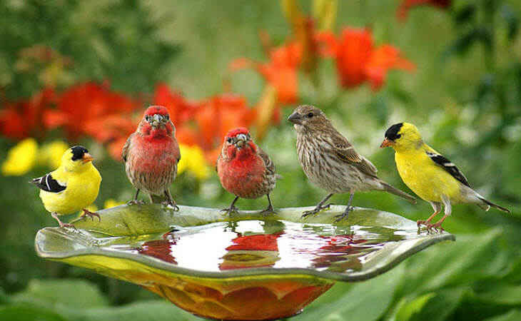 Wild Birds on Bird Bath