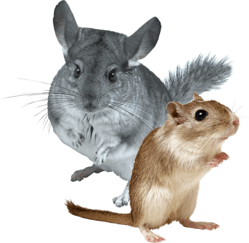 Chinchilla and Gerbil