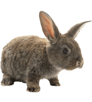Pet Rabbit