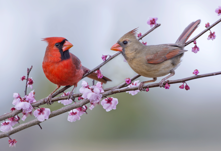 Attracting Cardinals to your Yard