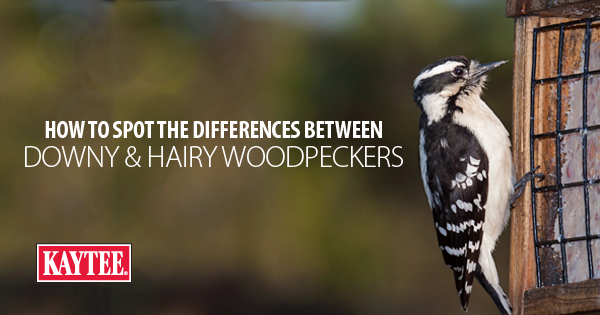 How to Spot the Differences between Downy & Hairy Woodpeckers